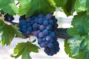 Nemea grapes